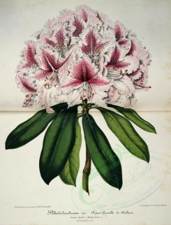 pink_flowers-00982 - rhododendrum prince camille de rohan [4378x5741]