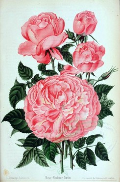 pink_flowers-01084 - 001-Rose - Madame Cusin [2618x3945]