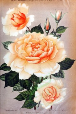 pink_flowers-01090 - 002-Rose - Jean Note [2033x3053]