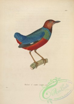 pittas-00009 - Red-bellied Pitta