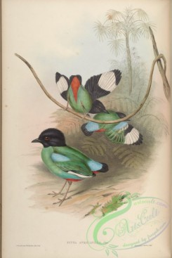 pittas-00019 - Black-headed Pitta