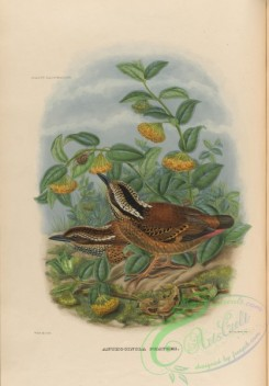 pittas-00051 - Eared Pitta