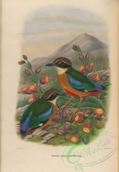 pittas-00061 - Mangrove Pitta