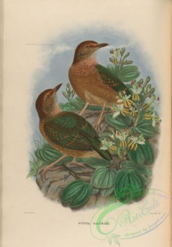 pittas-00083 - Rusty-naped Pitta
