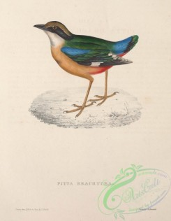 pittas-00088 - Indian Pitta