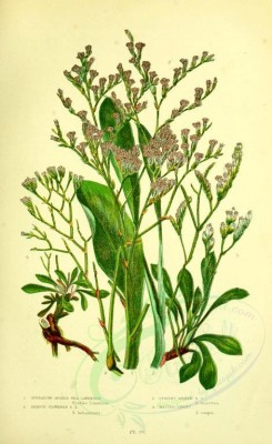 plants-13930 - 017-Spreading Spiked Sea Lavender, Remote flowered Sea Lavender, Upright Spiked Sea Lavender, Matted Thrift, statice limonium, statice bahusiensis, statice binervosa, statice caspi [2193x3577]