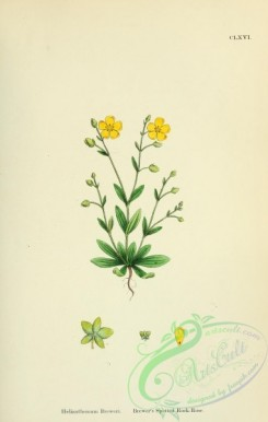 plants-26104 - Brewer's Spotted Rock-Rose, helianthemum breweri [1791x2816]