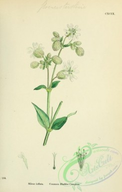plants-26110 - Common Bladder Campion, silene inflata [1791x2816]