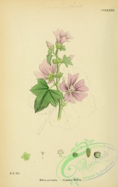 plants-26117 - Common Mallow, malva sylvestris [1791x2816]