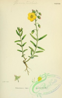 plants-26124 - Common Rock-Rose, helianthemum vulgare [1791x2816]
