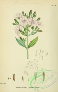 plants-26126 - Common Soapwort, saponaria officinalis [1791x2816]