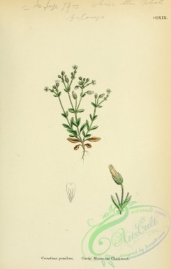 plants-26131 - Curtis' Mouse-ear Chickweed, cerastium pumilum [1791x2816]