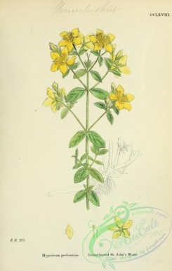 plants-26135 - Dotted-leaved St John's Wort, hypericum perforatum [1791x2816]