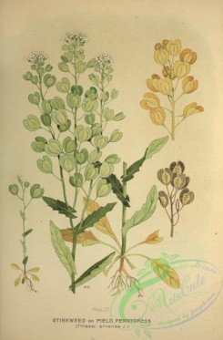 plants-28681 - Stinkweed or Field Pennycress, thlaspi arvense [2622x3985]