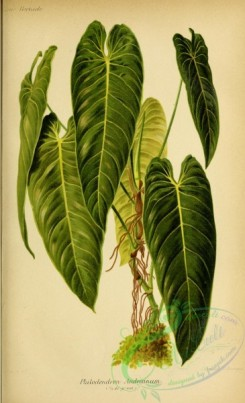 plants-30355 - philodendron andreanum [3014x4944]