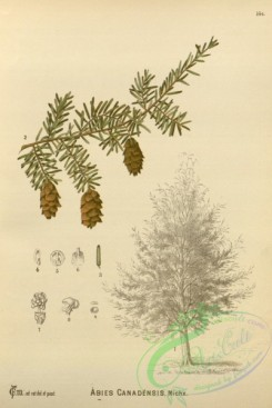 plants-30721 - abies canadensis [2628x3927]