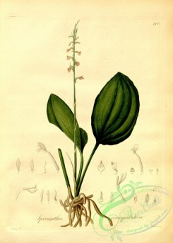 plants_of_amazon-00087 - spiranthes inaequilatera
