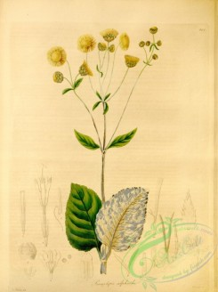 plants_of_amazon-00168 - prionolepis silphicides