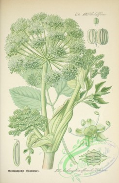 plants_of_germany-00173 - archangelica officinalis