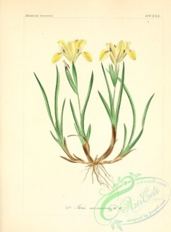 plants_of_germany-00677 - iris arenaria
