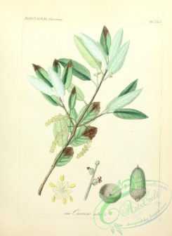 plants_of_germany-01191 - quercus suber