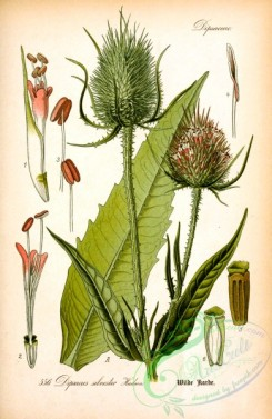 plants_of_germany-02127 - dipsacus silvester