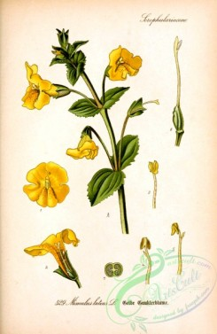 plants_of_germany-02176 - mimulus luteus