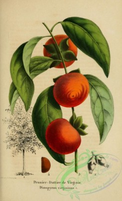 plum-00665 - diospyros virginiana, American Persimmon, Common Persimmon, Eastern Persimmon, Simmon, Possumwood, Sugar-plum