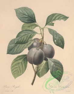plum-00674 - prunus domestica, Plum
