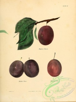 plum-00714 - Magnum Bonum Plum, Bleeker Plum, Denniston's Red Plum