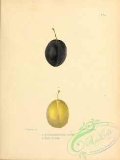 plum-00716 - Quackenbush Plum, Egg Plum