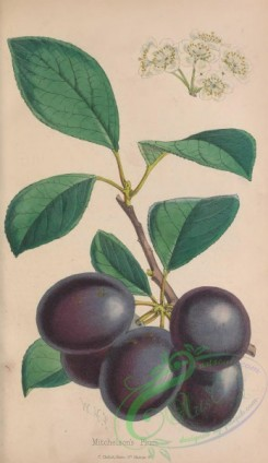 plum-00723 - Mitchelson's Plum