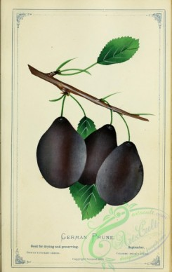 plum-00725 - Plum - German Prune