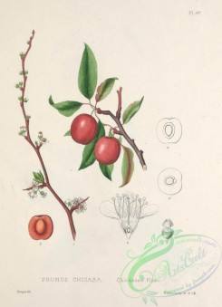 plum-00728 - Chickasaw Plum, prunus chicasa