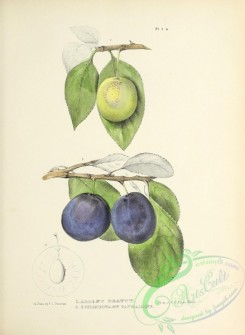 plum-00783 - 002-Albany Beauty Plum, Schenectady Catharine  Plum