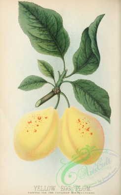 plum-00816 - Yellow Egg Plum