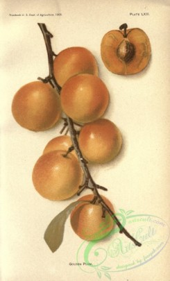 plum-00822 - Golden Plum