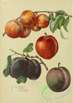 plum-00836 - Abundance Plum, Burbank Plum, German Prune Plum, October Purple Plum
