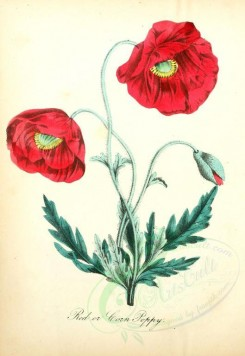 poppies_flowers-00001 - 02 - Red or Corn Poppy [1856x2693]