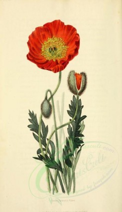 poppies_flowers-00006 - 08 - Scarlet Naked-stalked Poppy - papaver nudicaule coccinea [2001x3450]