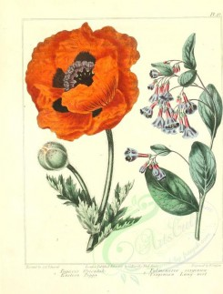 poppies_flowers-00007 - 09 - Eastern Poppy, Virginian Lung-wort - papaver orientale, pulmonaria virginica [2348x3089]