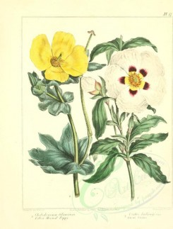 poppies_flowers-00009 - 09 - Yellow Horned Poppy, Gum Cistus - chelidonium glaucium, cistus ladaniferus [2348x3089]