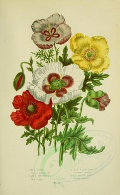poppies_flowers-00019 - 25 - Opium Poppy, Common Red Poppy, Yellow Welsh Poppy, Violet Horned Poppy - papaver somniferum, papaver rhaeas, meconopsis cambrica, glancium violaceum [2208x3566]