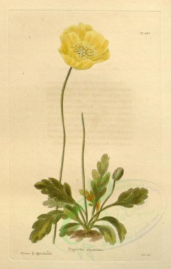 poppies_flowers-00025 - 174-mr - papaver alpinum [1726x2710]
