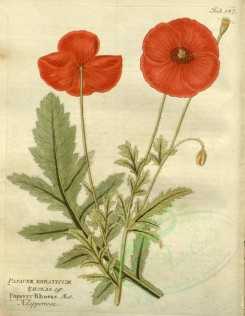 poppies_flowers-00027 - 183-mr - papaver erraticum [2637x3394]
