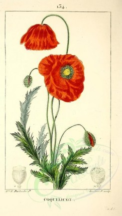 poppies_flowers-00035 - 213 - Red Poppy or Corn-Rose or Cop-Rose or Head-Wark - papaver rhoeas [2130x3737]