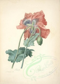 poppies_flowers-00037 - 219-mr - papaver [5284x7318]