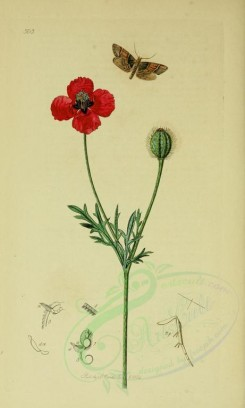 poppies_flowers-00041 - 228 - Round rough-headed Poppy - papaver hybridum [2099x3495]