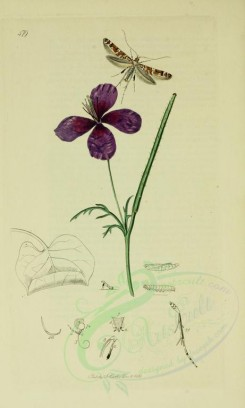 poppies_flowers-00042 - 228 - Violet horned Poppy - glaucium violaceum [2099x3495]