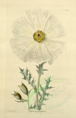 poppies_flowers-00048 - 231-mr - argemone grandiflora [1765x2747]